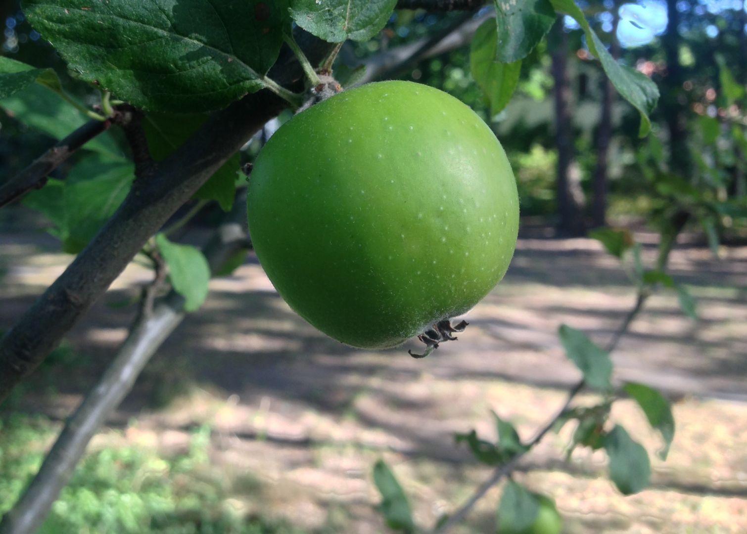 Äpfel, Birnen, Pflaumen, Quitten und Holunderbeeren