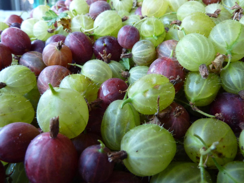 Annahme von Kirschen, Johannisbeeren, Stachelbeeren